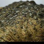 Sideshow Premium Format Killer Croc Figure, skin